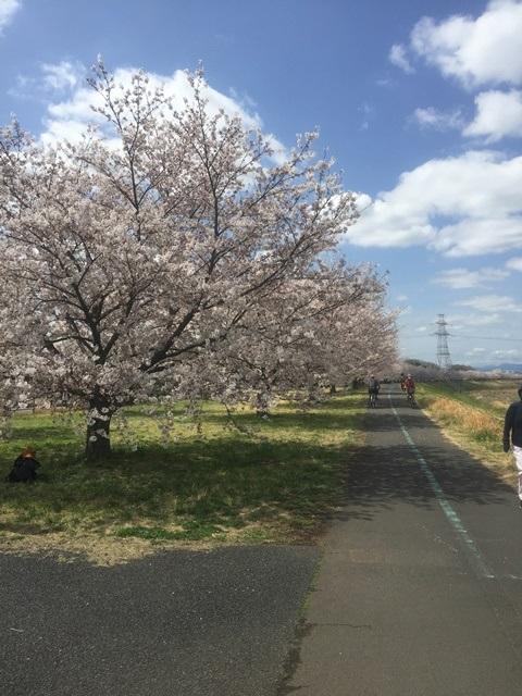 15.桜並木始
